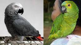 Homenagem ao Papagaio Verde